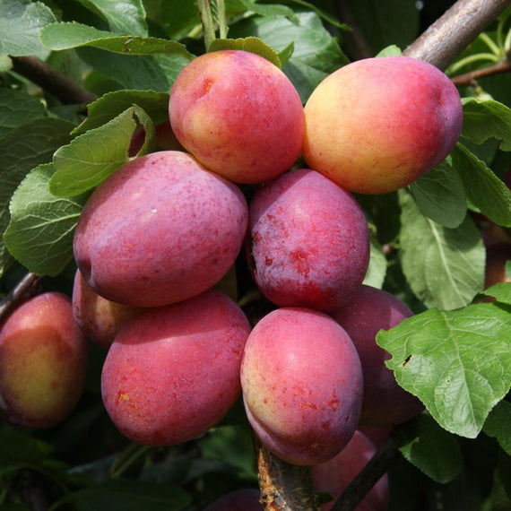 Victoria Plum Tree Gift for Sale