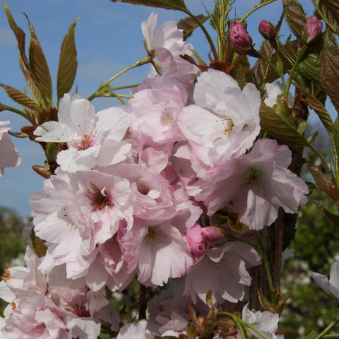 Cherry Blossom Trees for Sale