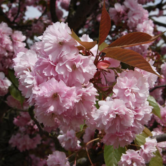 Buy Prunus 'Kanzan'