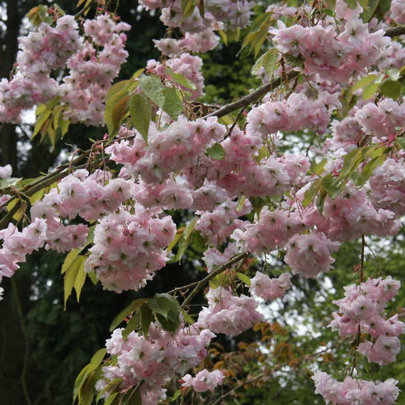 Prunus Kiku-shidare-zakura for Sale