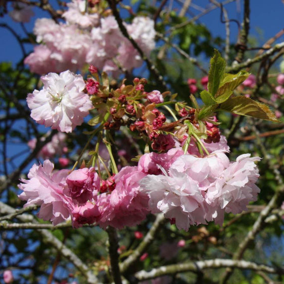 Prunus 'Pink Perfection' for Sale