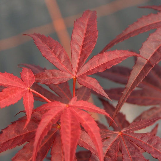 red favourite colour japanese maple