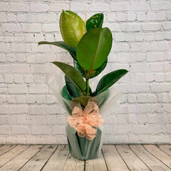 Rubber Plant Gift