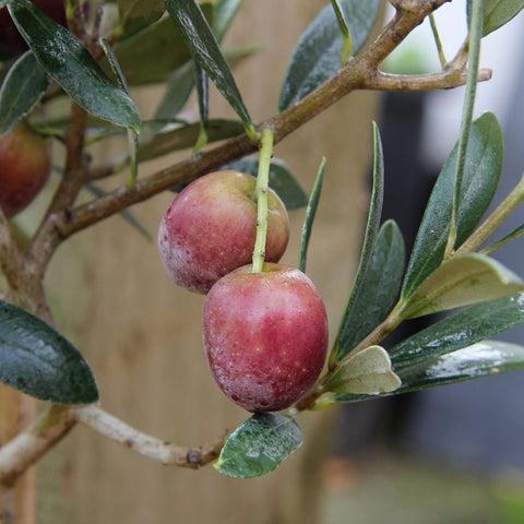 Olives Ripening on a Tree