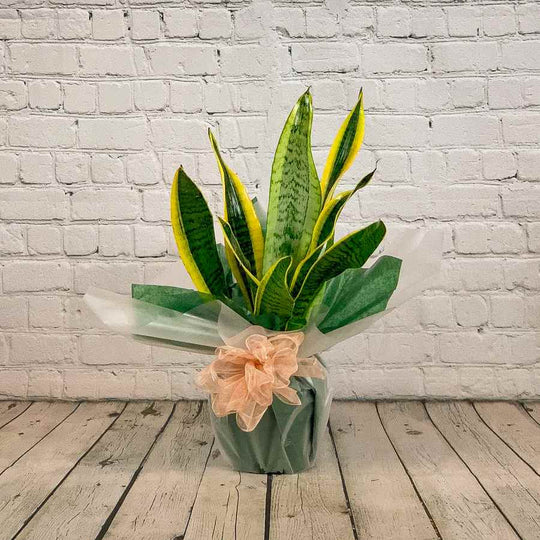 Snake Plants for Sale UK