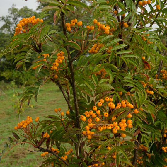 Sorbus Autumn Spire ® (Flanrock) for Sale