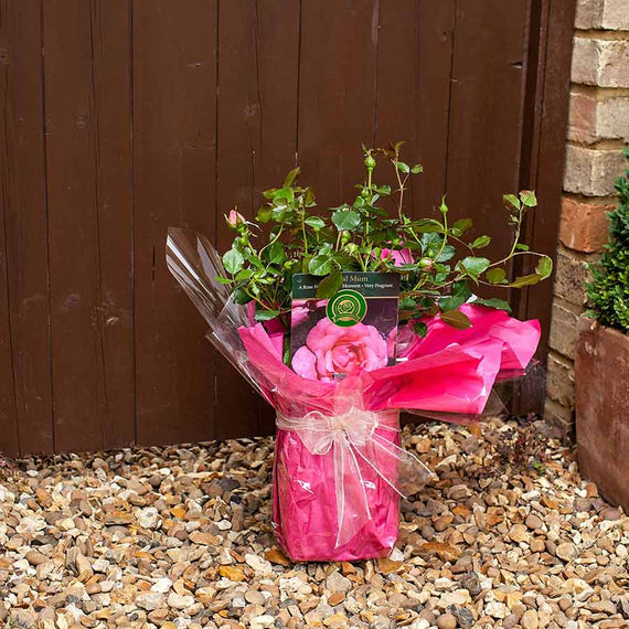 Send a Special Mum Rose Bush