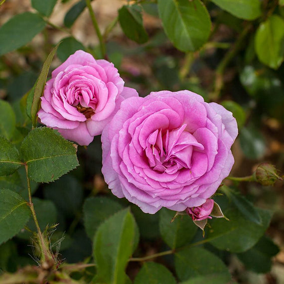 Special Mum Rose Plant for Sale