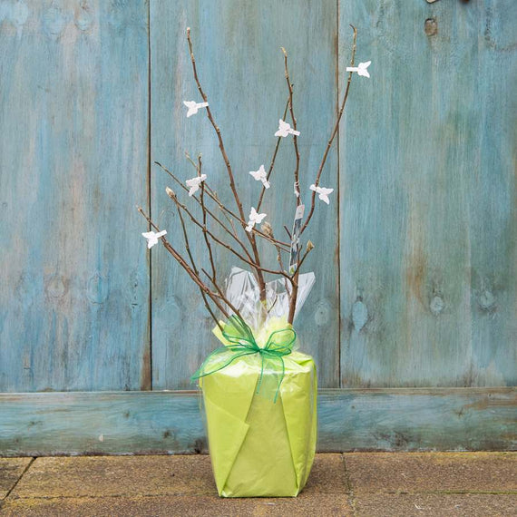 Star Magnolia Tree Gift for Sale
