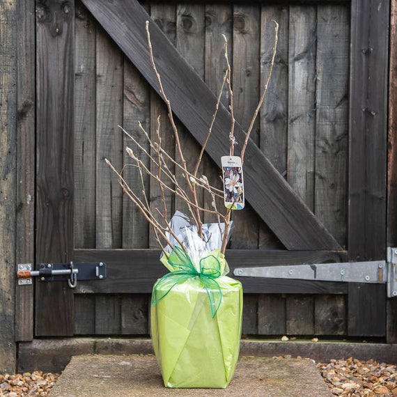 Buy a Star Magnolia Tree Gift