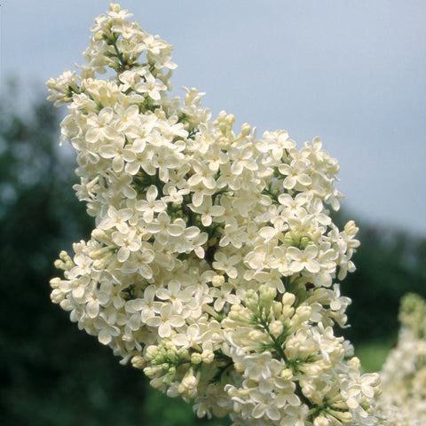 Lilac Tree Gifts