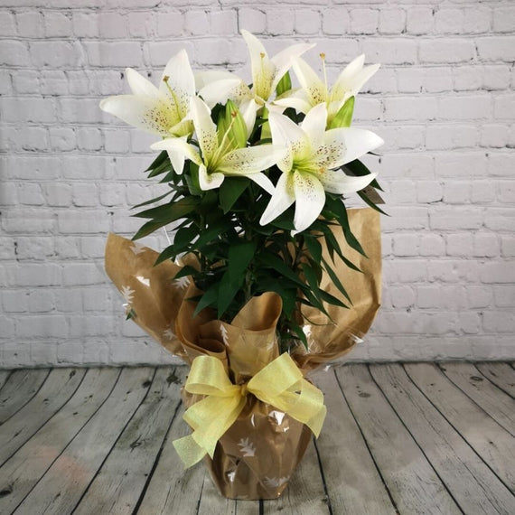 Buy a White Christmas Lily Plant