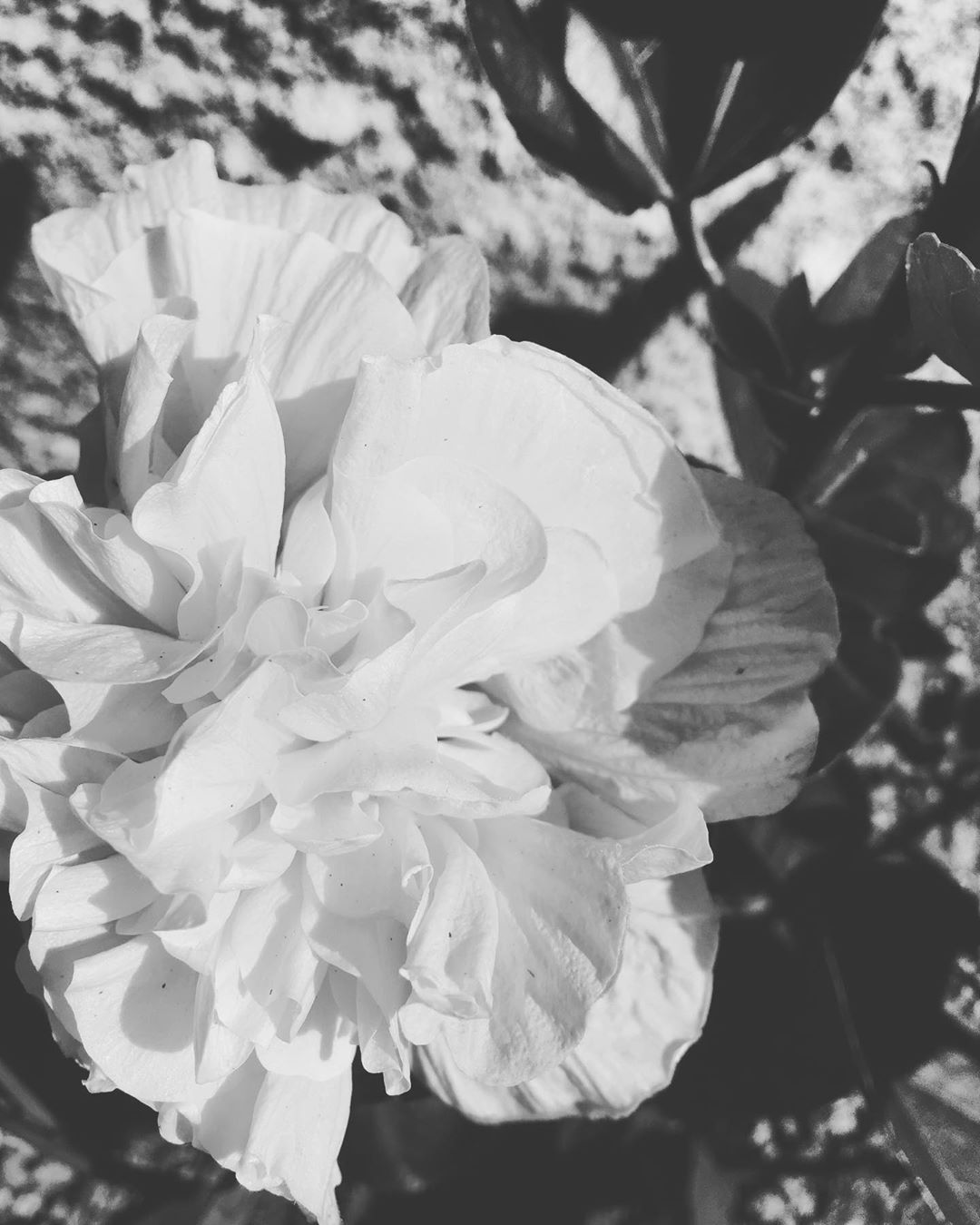 Black and White Hibiscus Bloom