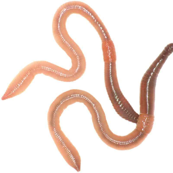 Garden Worms  -  Composting