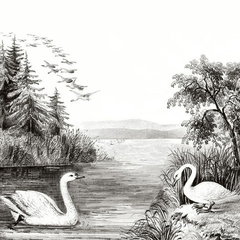 Swan Lake B&W Gravure Mural Wallpaper (SqM)