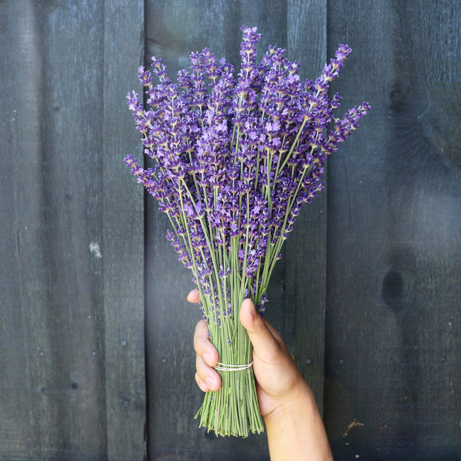 Kelso Lavender, Fresh English Lavender Bouquet, Royal Velvet, 14 inches