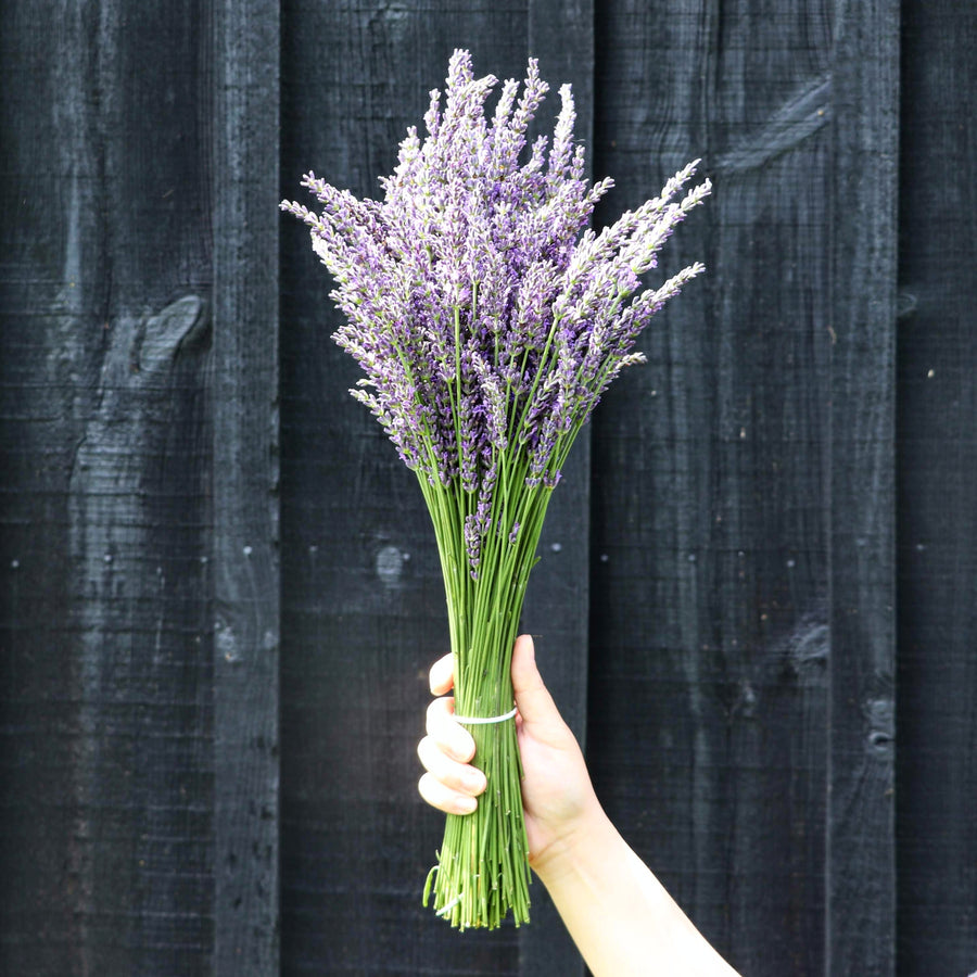 Kelso Lavender, Fresh French Lavender Bouquet, Phenomenal, 18 inches
