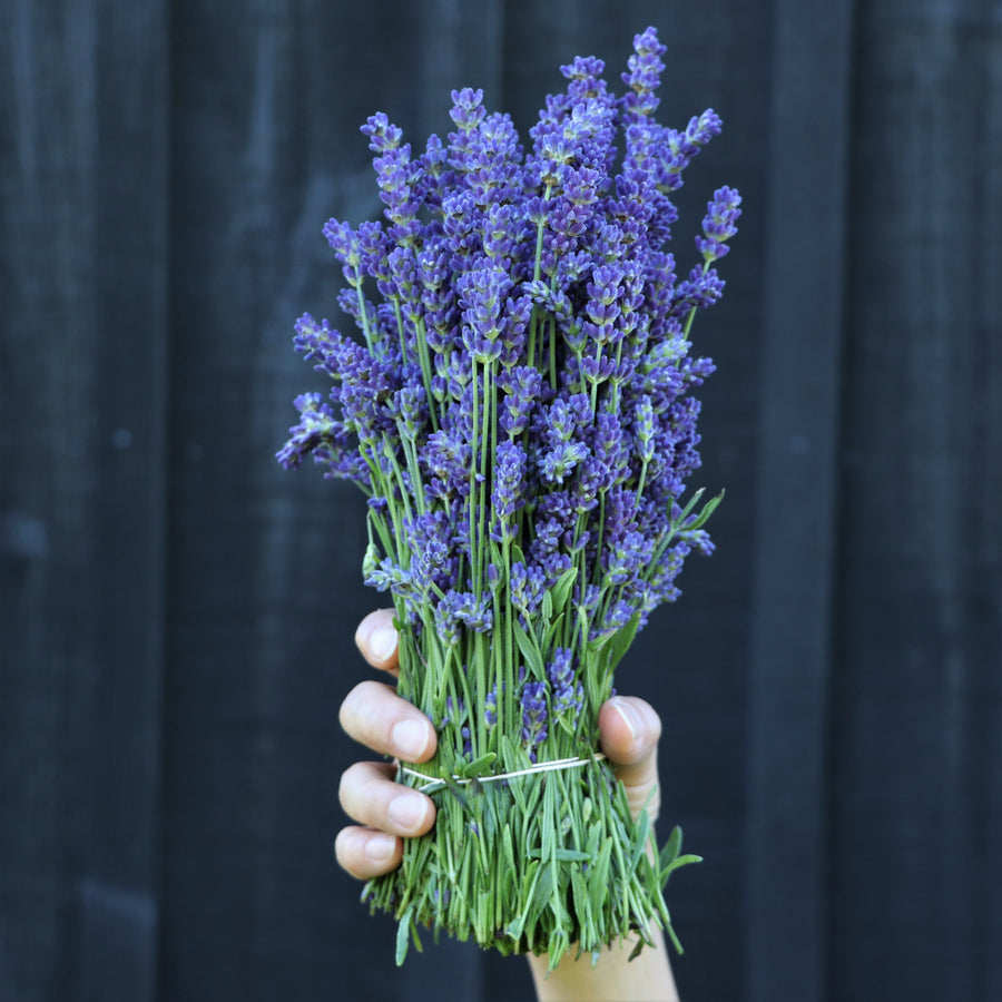 Kelso Lavender, Fresh English Lavender Bouquet, Super Blue, 7 inches
