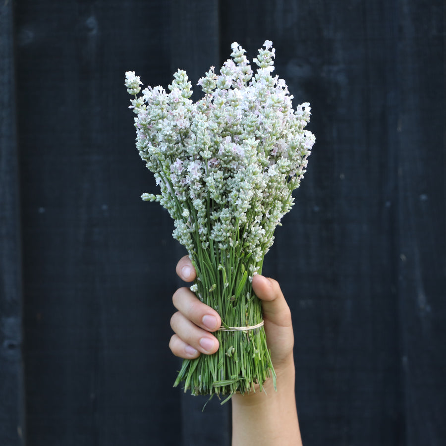 Kelso Lavender, Fresh English Lavender Bouquet, Melissa, 10 inches, 200 stems