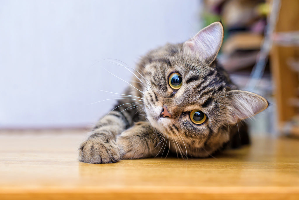 How CBD Can Help Cats With Anxiety