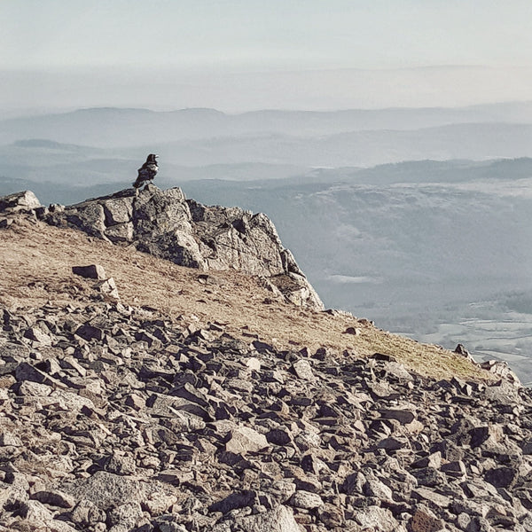 Raven on Dow Crag, Lake District. By Hord.
