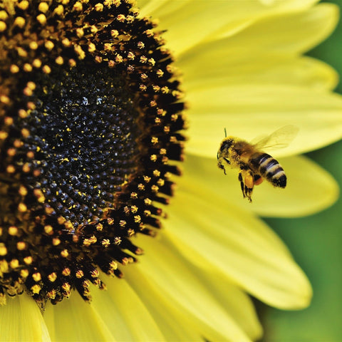 Bee pollinating a sunflower