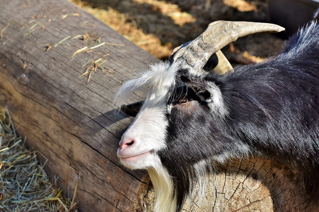 Goat of the Day 02/26/2019