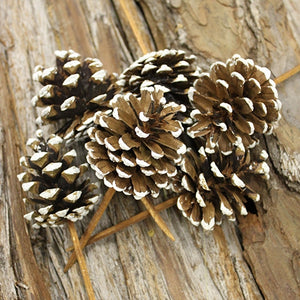 * SMALL PICKED PINE CONE FROSTED 100PC CASE