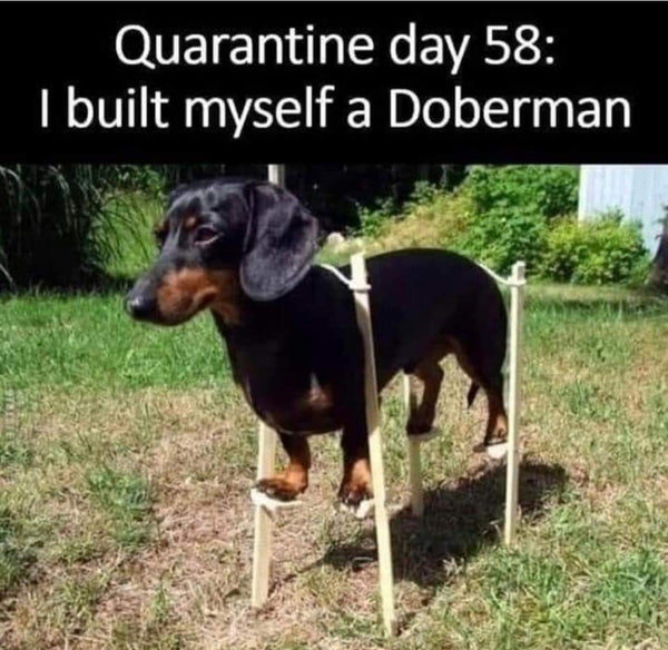 Dachshund Doberman Immitation