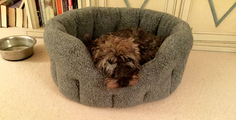 Scotty Terrier in his drop front fleece sherpa dog bed