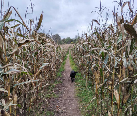 Walking in the corn