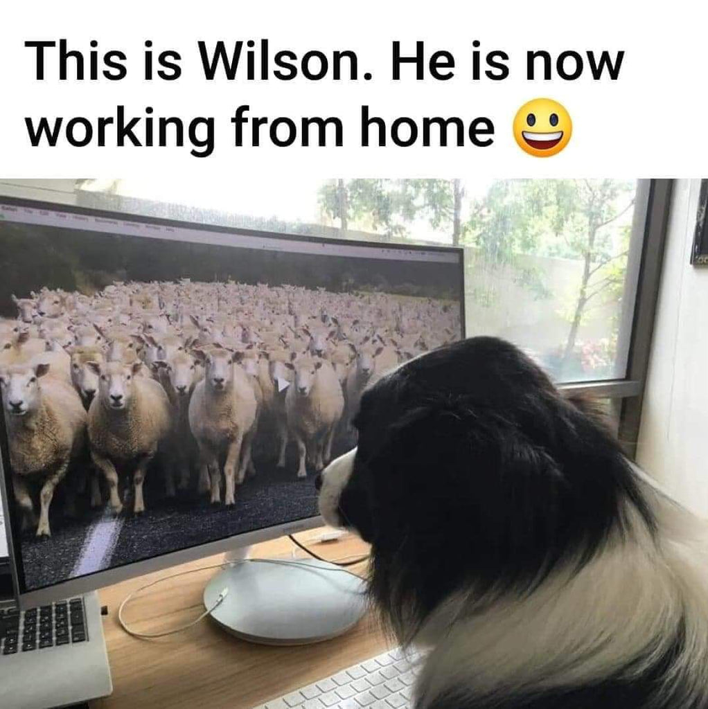 Sheep Dog Working From Home