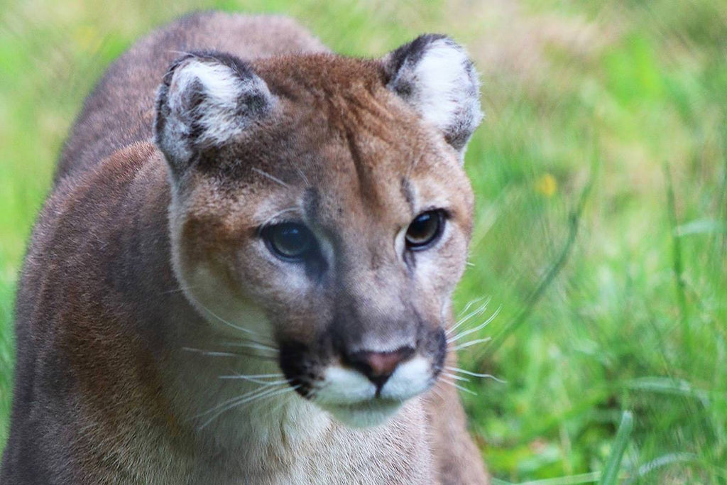 Cougar Spirit Animal Totem Meaning & Significance | Yoga Medicine Journeys