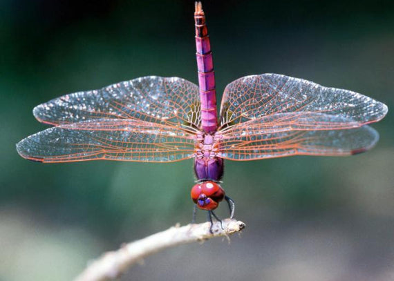 Dragonfly Spirit Animal Meaning & Significance | Medicine Yoga