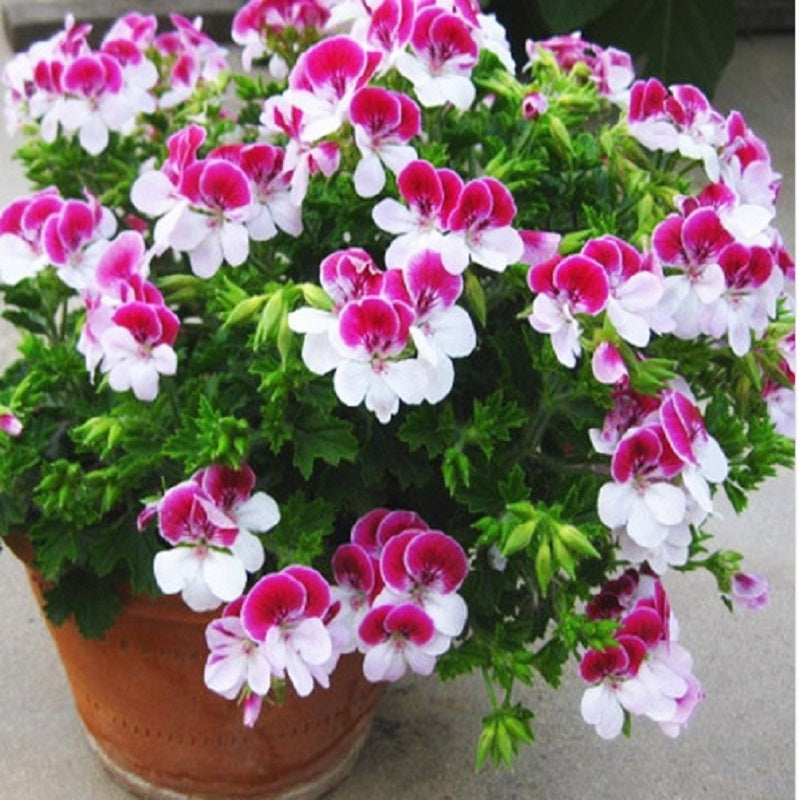 Two-Colors Geranium Seeds (10 pcs / Bag)