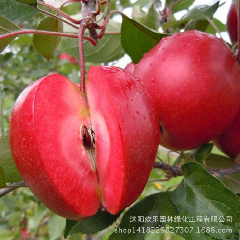 Red Apple Seeds (50 pcs)