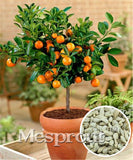 Bonsai Orange Seeds (30 pcs)