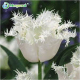 Perfumed Tulip Seeds (10 pcs)