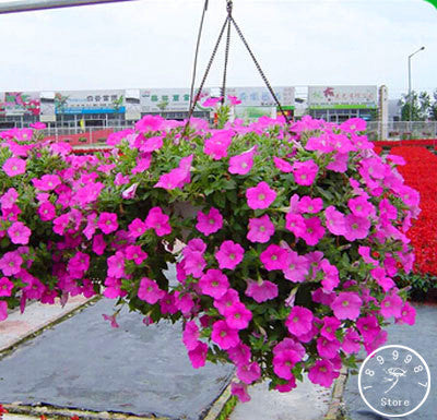 Hanging Petunia Seeds (200 pcs)