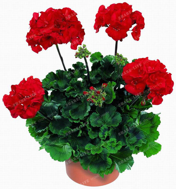 Pelargonium Seeds (100 pcs)