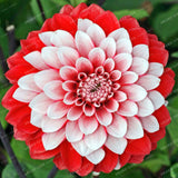 Rare Dahlia Seeds (10 PCS/Bag)