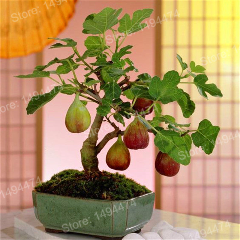 Rare Tropical Fig Seeds (100 pcs)
