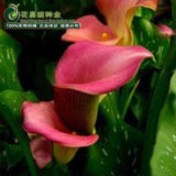 Calla Lily Seeds (10 pcs)