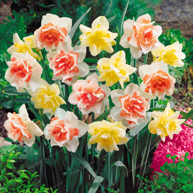 Narcissus Daffodil Seeds (100 pcs)