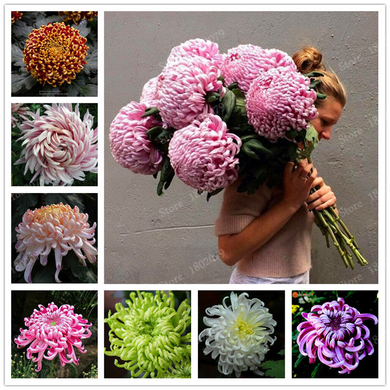 Chrysanthemum Seeds ( 200pcs/bag )