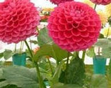 Dahlias Seeds (20 seeds /bag)