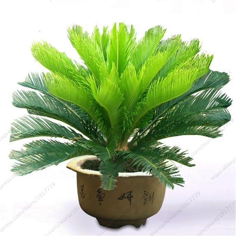 Sago Palm Tree Seed (1 pcs/bag)