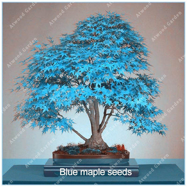 Japanese Maple Bonsai Seeds (20 pcs)
