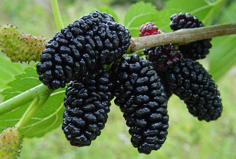 Big Black Raspberry Seeds (100 pcs)