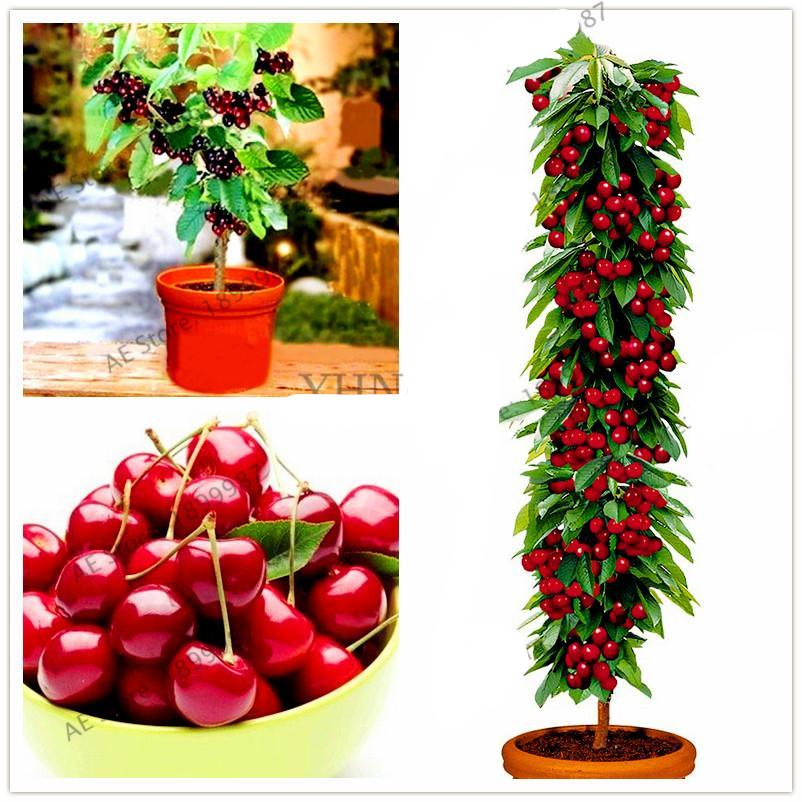Mini Cherry Tree Seeds (20 pcs)